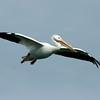 American White Pelican, Chandler, AZ