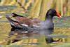 Common Moorhen (Gallinule), Mission Trails Regional Park, San Diego County, CA