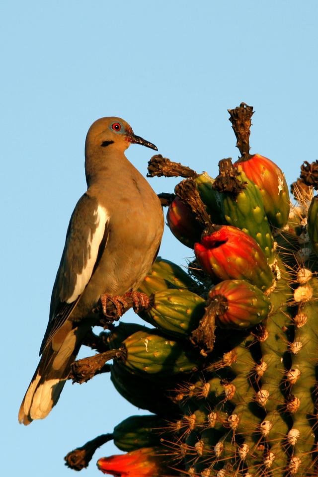 White-Winged Dove on Saguaro, Gilbert, AZ