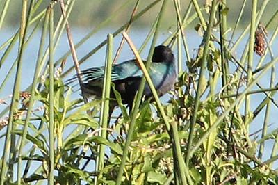 Purple Gallinule, Three Lakes WMA, Osceola County, FL