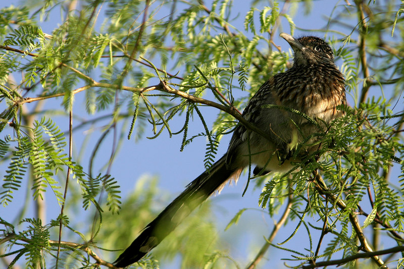 Greater Roadrunner, Gilbert, AZ
