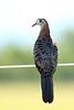 Bar-shouldered Dove, Richmond Lowlands, New South Wales, Australia
