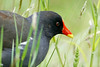 Common Moorhen, London Wetlands Centre, UK
