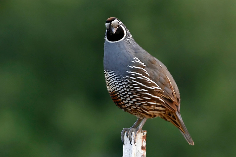 California Quail, McClellan Ranch Park, Cupertino, CA