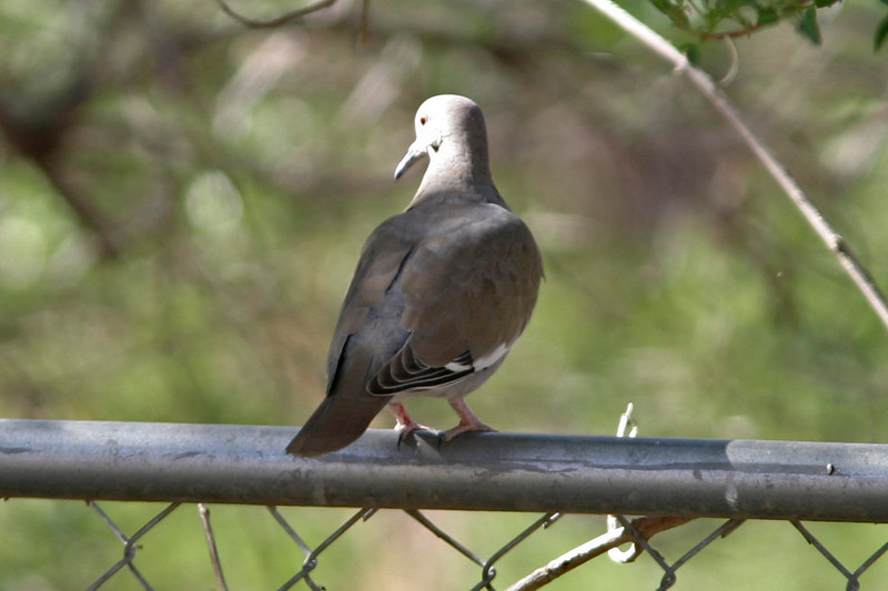 White-winged Dove, Patagonia, AZ