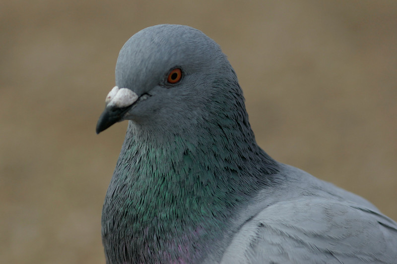 Rock Dove (Common Pigeon), Scottsdale, AZ