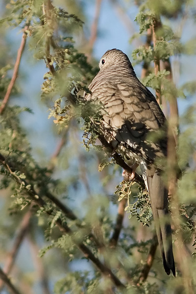 Inca Dove, Gilbert, AZ