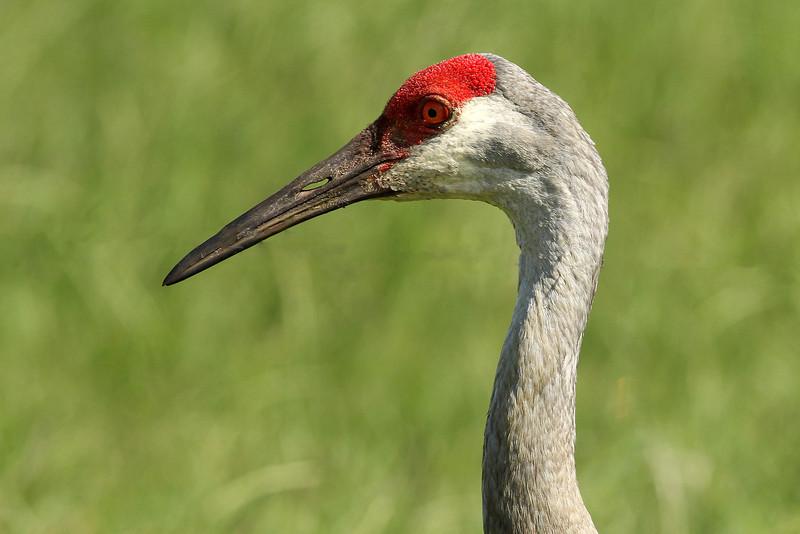 Sandhill Crane, Osceola County, FL