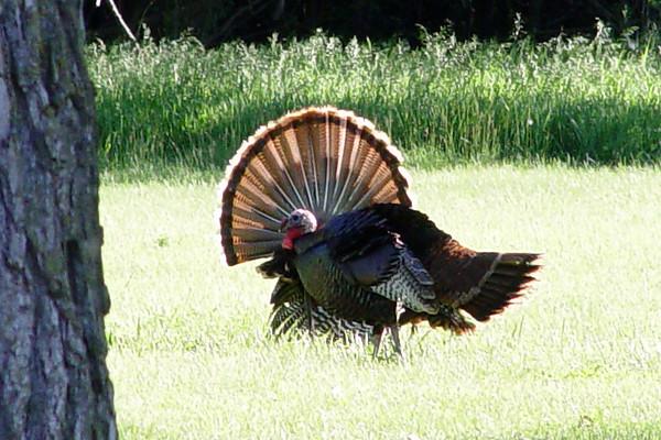 Wild Turkey, DeSoto NWR, NE