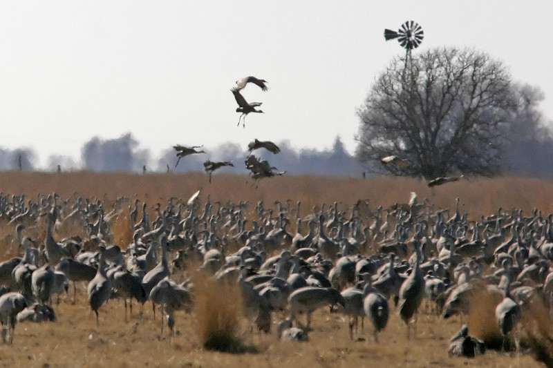 Sandhill Cranes, Central Nebraska