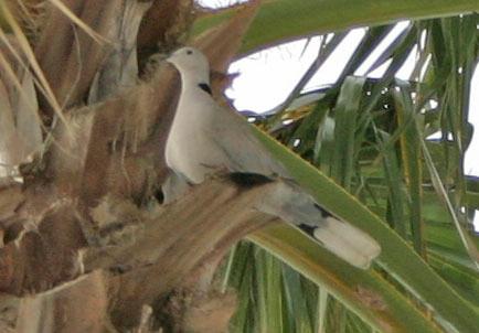 Eurasian Collared Dove, Bradenton, FL