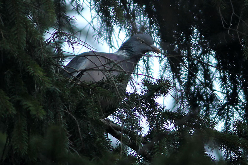 Common Wood Pigeon, Uetliberg, Switzerland