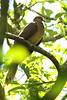 Brown Cuckoo-Dove, Cattai National Park, New South Wales, Australia