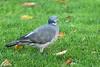 Common Wood Pigeon, Herbert Park, Dublin, Ireland
