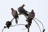 Band-tailed Pigeons, Shoreline Lake, Mountain View, CA