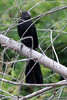 Groove-billed Ani, Sabal Palm Sanctuary, TX