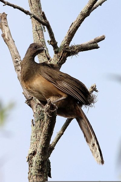 Plain Chachalaca, Santa Ana National Wildlife Refuge, TX