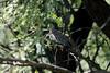 Common Ground Dove, San Pedro National Riparian Conservation Area, AZ