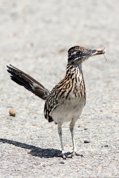 Greater Roadrunner, Falcon State Park, TX