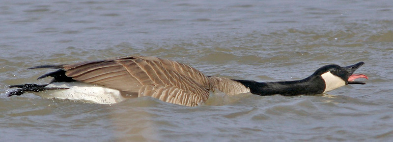 Canada Goose<br /> Walnut Creek, NE