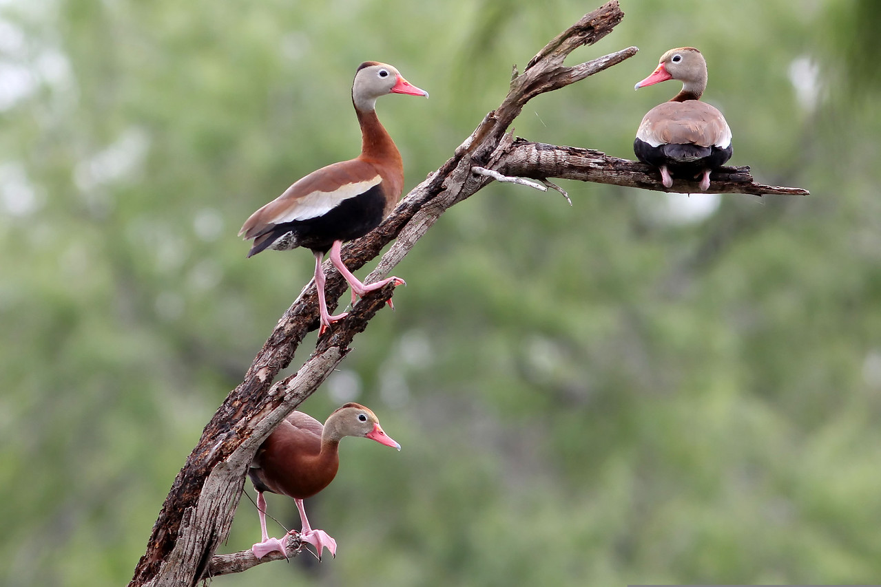 Black-bellied Whistling Ducks, Estero Llano Grande State Park, TX