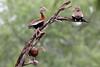 Black-bellied Whistling Ducks, Estero Llano Grande State Park, TX