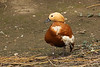 Ruddy Shelduck, Regent's Park, London, England, UK