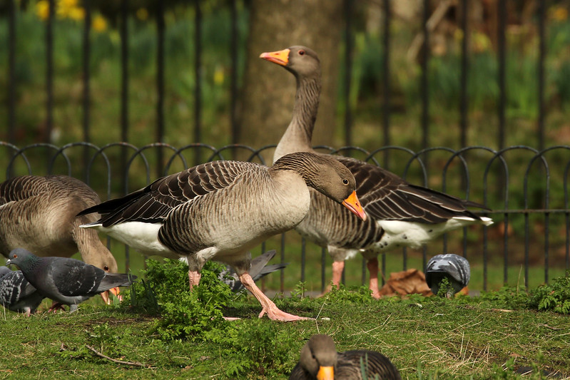 Graylag Geese, Regent's Park, London, England, UK