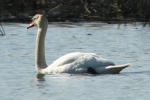 Mute Swan, Great Swamp NWR, NJ