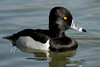 Ring-Necked Duck, Tempe, AZ
