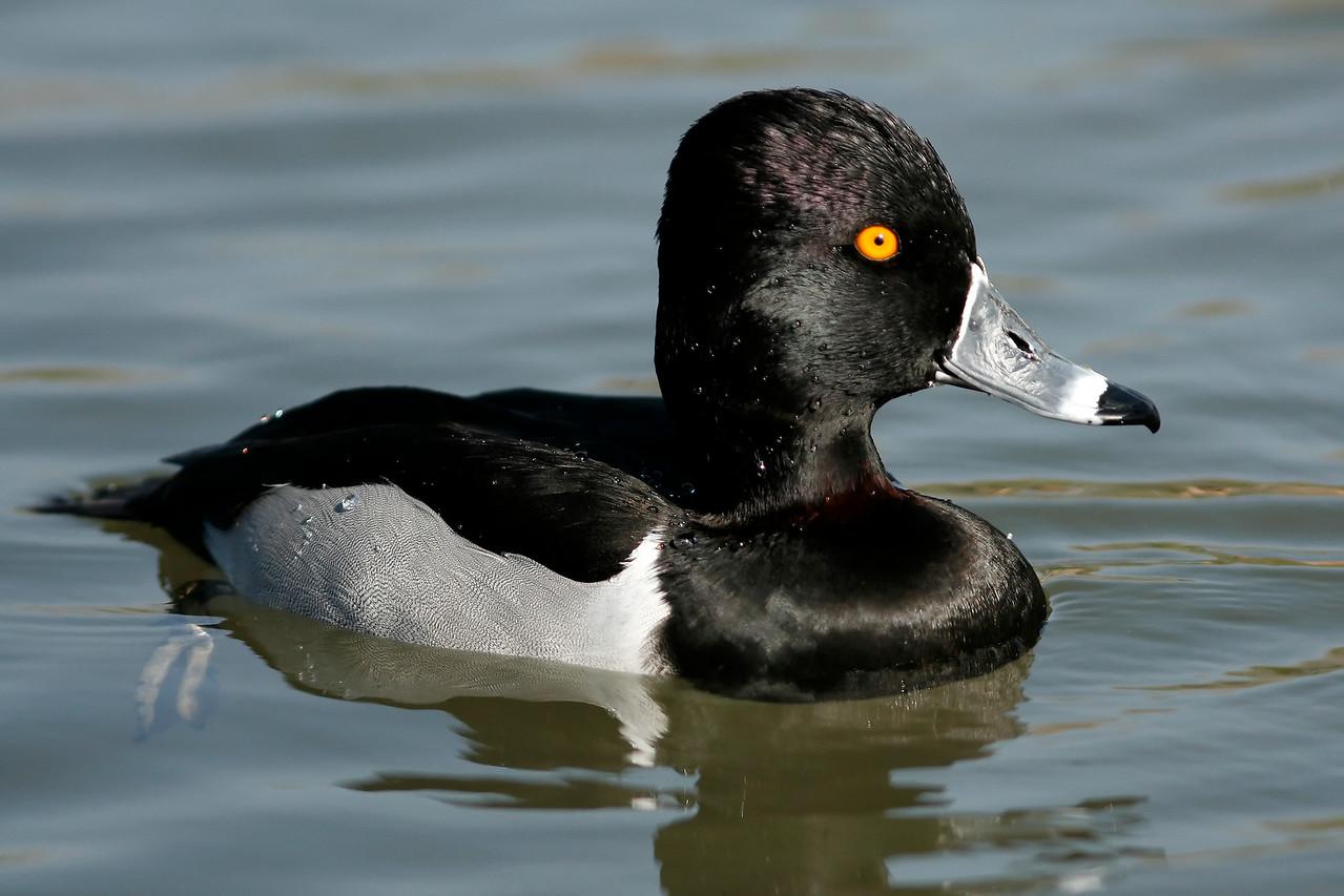 Ring-Necked Duck, Tempe, AZ