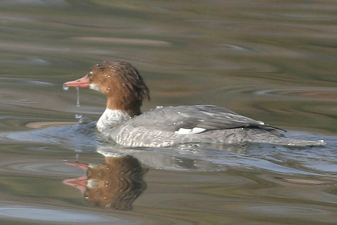 Common Merganser<br /> Chaparral Park, Scottsdale, AZ