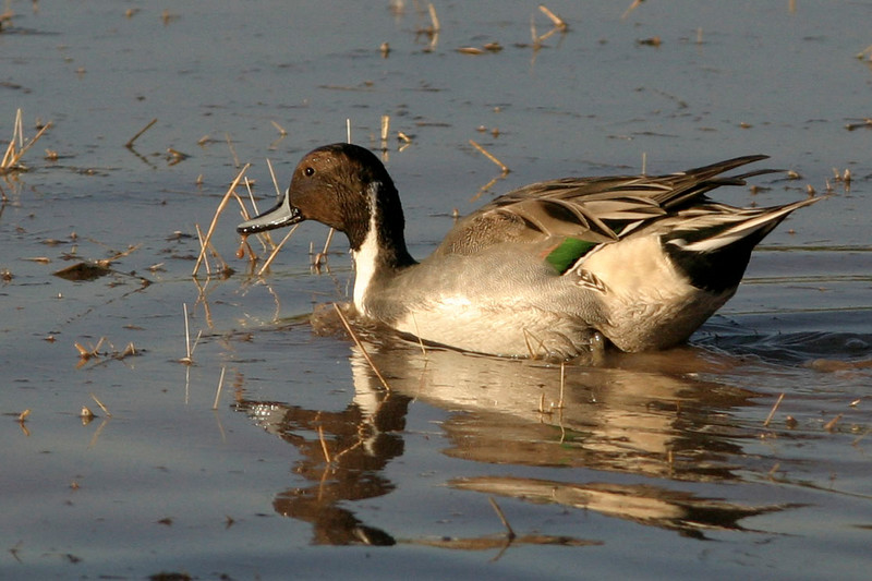 Northern Pintail<br /> Gilbert, AZ