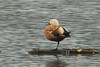 Ruddy Shelduck, Flachsee, Switzerland
