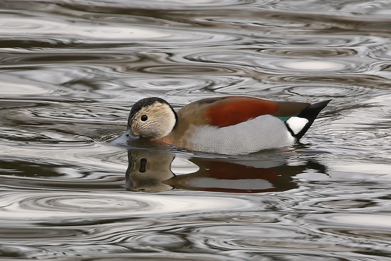 Ringed Teal, Regent's Park, London, England, UK (this is a collection bird living freely in the park)