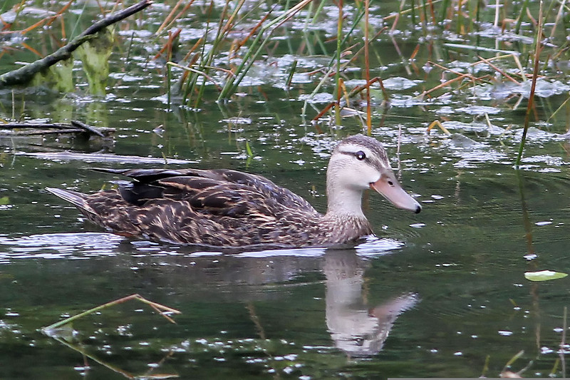 Mottled Duck, Sabal Palm Sanctuary, TX