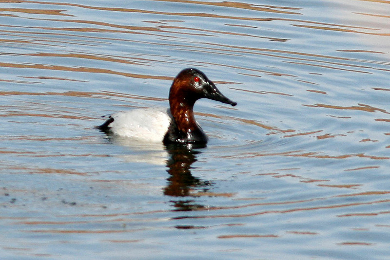 Canvasback, Granite Reef, Maricopa County, AZ
