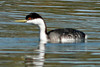 Western Grebe, ASU Research Park, Chandler, AZ