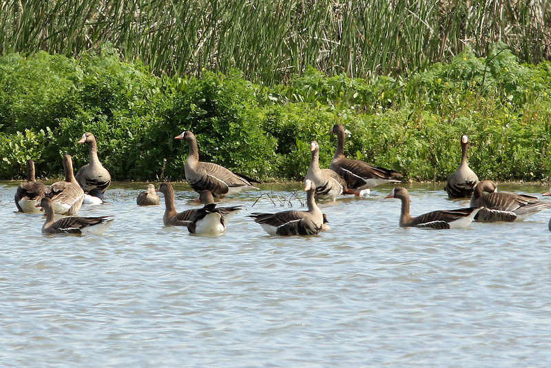 Greater White-Fronted Geese, Merced NWR, CA
