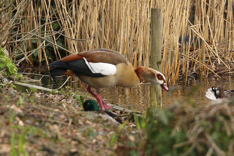Egyptian Goose, Regent's Park, London, England, UK