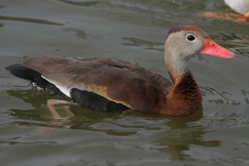 Black-bellied Whistling Duck, Scottsdale, AZ