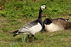 Barnacle Goose, Regent's Park, London, England, UK