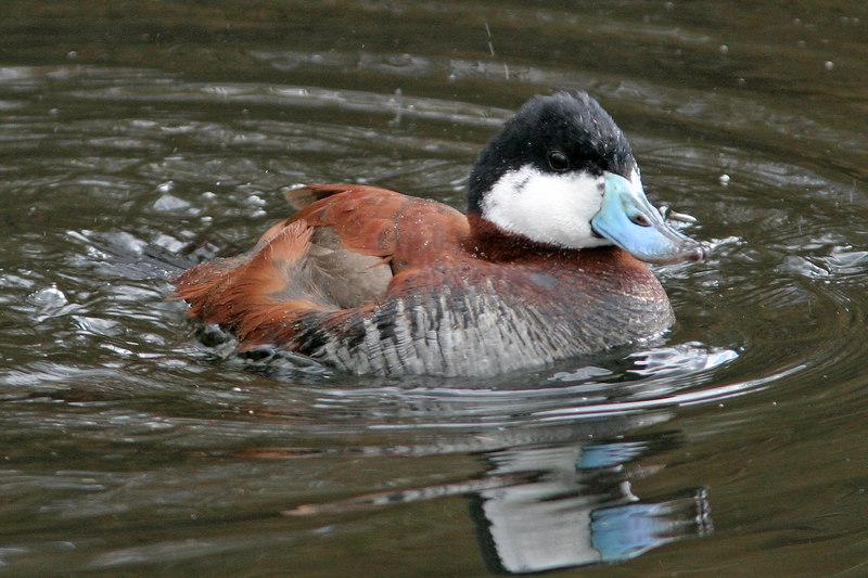 Ruddy Duck, Tucson, AZ