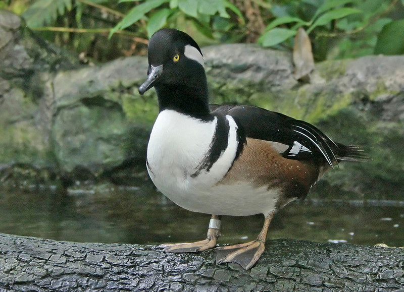 Hooded Merganser (captive)<br /> Florida Aquarium, Tampa