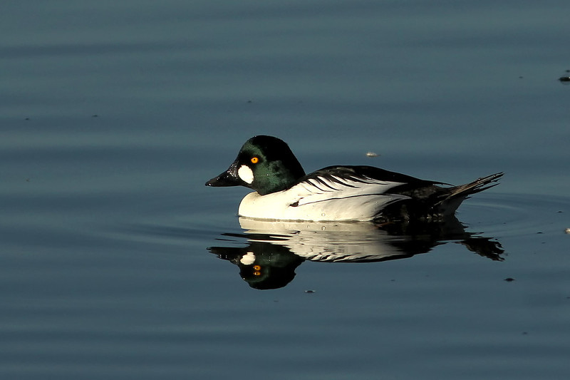 Common Goldeneye, Shoreline Lake, Mountain View, CA