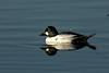 Common Goldeneye, Shoreline Lake, Mountain View, CA