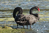 Black Swans, Sydney, NSW, Australia