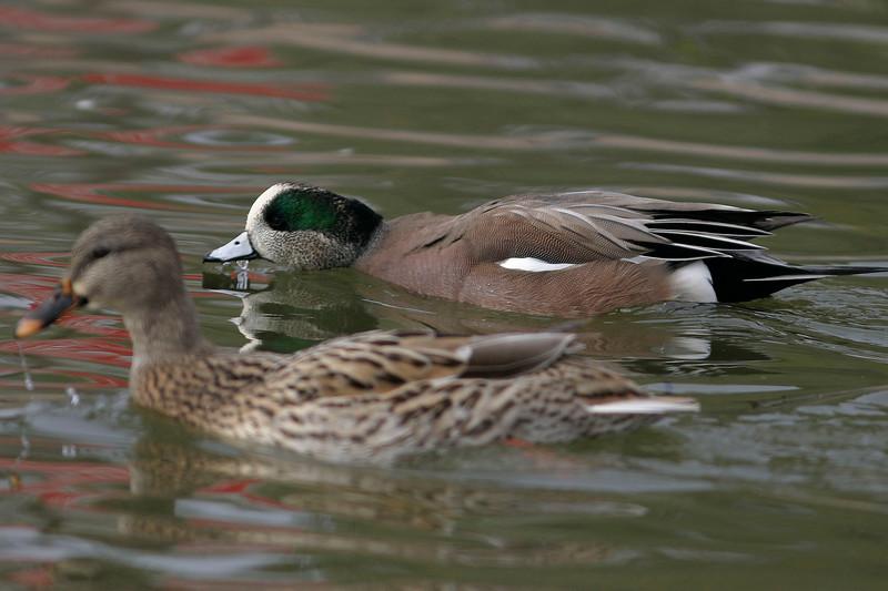 American Wigeon<br /> Chaparral Park, Scottsdale, AZ