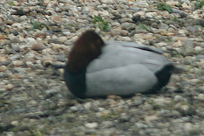 Common Pochard, London Wetlands Center, UK