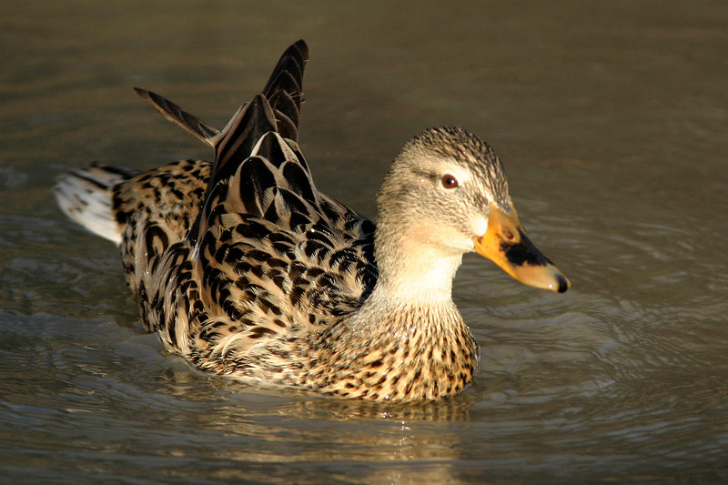 Mallard (female), Gilbert, AZ